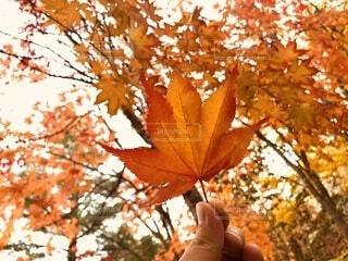 秋,紅葉,屋外,葉,オレンジ,手持ち,樹木,人物,ポートレート,ライフスタイル,草木,手元,カエデ
