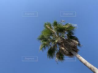 ヤシの木の写真・画像素材[3710615]