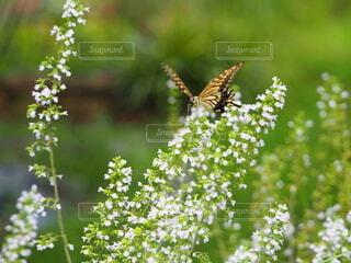 蜜を吸う蝶々の写真・画像素材[3674875]