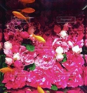 金魚の写真・画像素材[3659116]