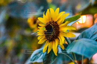 風景,花,夏,ひまわり,黄色,ひかり