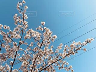 青空と電線と満開の桜の木の写真・画像素材[4297103]