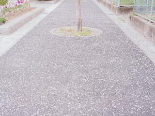 歩道一面に散る桜の花びらの写真・画像素材[4300697]