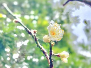 梅の花と雨粒の写真・画像素材[4364583]