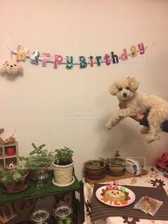 犬,ケーキ,白,手持ち,植木,誕生日,プードル,トイプードル,お祝い,ポートレート,抱っこ,手作り,パーティー,ダイニングテーブル,バースデー,ライフスタイル,手元
