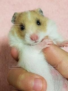 動物,ハムスター,かわいい,手,手持ち,人物,ポートレート,ライフスタイル,手元
