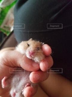 動物,ハムスター,かわいい,手,手持ち,人物,赤ちゃん,ポートレート,ライフスタイル,手元,齧歯動物