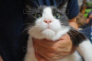 むちむちハチワレ猫の写真・画像素材[3666852]