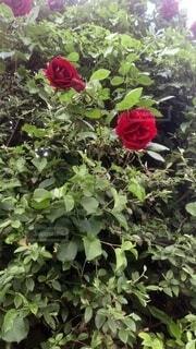 花,赤,バラ,新緑,草木