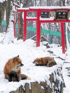 狐と鳥居の写真・画像素材[3668326]