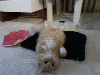 裏返りカメラ目線の猫(ラガマフィン)の写真・画像素材[3671151]