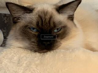 変顔カメラ目線の猫の写真・画像素材[3671159]