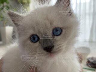 カメラ目線の仔猫2か月の写真・画像素材[3671177]