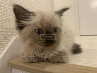 生後2か月の仔猫ラグドールの写真・画像素材[3671197]