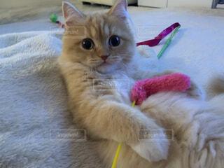 遊び疲れて腹みせ休むオッサンのような仔猫の写真・画像素材[3671349]