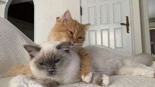 仲の良い猫たち(ラグドール とラガマフィン)の写真・画像素材[3672536]