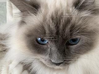 猫のクローズアップの写真・画像素材[3672542]