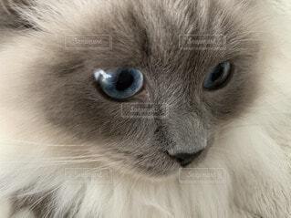 猫のクローズアップ、ラグドールの写真・画像素材[3672545]
