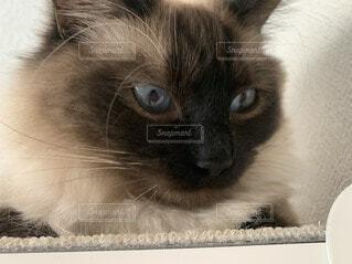 猫のクローズアップの写真・画像素材[3672544]