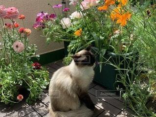 花のベランダで座っている猫ラグドールの写真・画像素材[3672550]