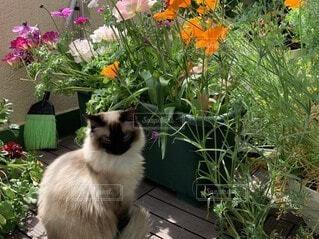 猫,花,動物,屋外,ベランダ,景色,手持ち,座る,ポートレート,ラグドール,ライフスタイル,草木,決定的瞬間,希少,インスタ映え
