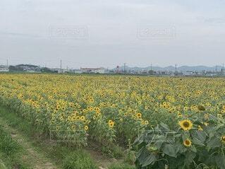空,花,屋外,植物,ひまわり,景色,草,草木,希少,インスタ映え