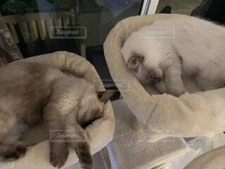 猫タワーで同じ姿勢で寝るラグドールの写真・画像素材[3672635]