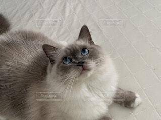 ラグドール 猫の写真・画像素材[3708077]