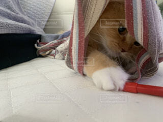 着替えの中に入る猫ラガマフィンの写真・画像素材[3842835]