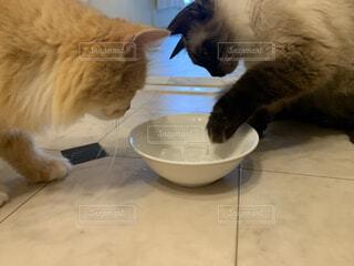 猫のティータイム、氷をみてびっくりの写真・画像素材[3897703]