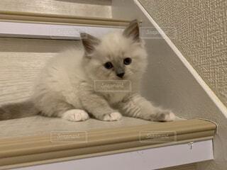 ふわふわ。生後2か月のラグドール(階段降りれない)の写真・画像素材[3967465]