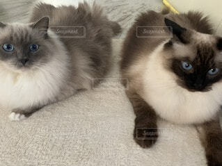 ラグドールという猫の姉妹ネコの写真・画像素材[3973105]
