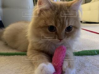 猫からの贈り物の写真・画像素材[3973118]