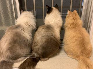 ご主人様の帰りを待っているモコモコ猫たち…の写真・画像素材[3974160]