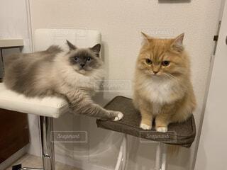 掃除機の音が大嫌いな猫、掃除機から逃げるようにキッチンの椅子に逃げてきた猫、ラグドール とラガマフィンの写真・画像素材[3991944]