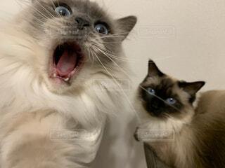 決定的瞬間のラグドール姉妹猫の写真・画像素材[4012131]