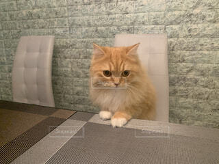 テーブルに上がりたい猫ラガマフィン女の子の写真・画像素材[4034550]