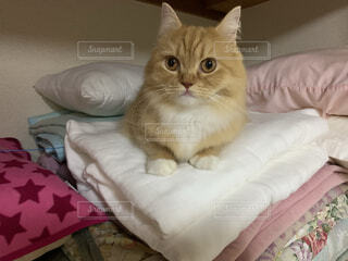 襖の中に入り暖まる猫ラガマフィンの写真・画像素材[4076701]