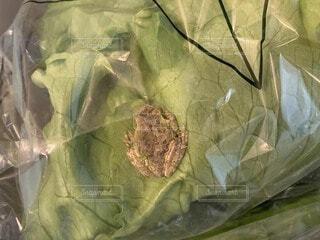 レタスの中に蛙が…。の写真・画像素材[4100353]