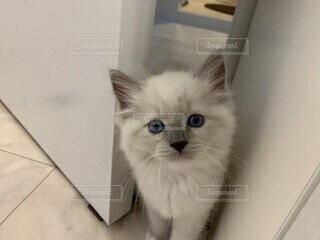 初めて我が家に来た時の猫ラグドールの写真・画像素材[4162376]