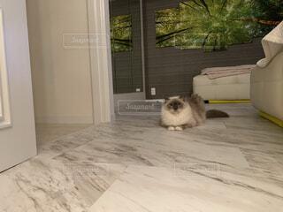 カメラ目線の猫ラグドールの写真・画像素材[4351414]