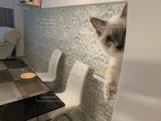猫階段から覗いている猫ラグドールの写真・画像素材[4351415]