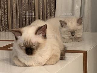 テーブルで同じ姿勢で寝る姉妹猫ラグドールの写真・画像素材[4351482]