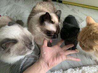 猫,動物,リビング,屋内,かわいい,指,ねこ,おやつ,子猫,オシャレ,可愛い,お洒落,多頭飼い,おしゃれ,決定的瞬間,インスタ映え,チュール