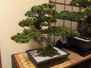 樹齢70年ほどの盆栽ですの写真・画像素材[4871602]