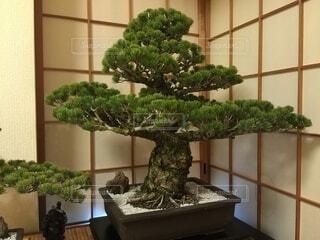 樹齢100年を越える盆栽ですの写真・画像素材[4871601]