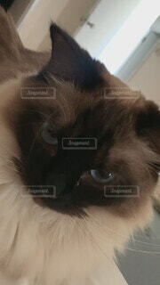 猫,動物,屋内,白,かわいい,ねこ,子猫,黒猫,目,ラグドール,見つめる,カメラ目線,髭,ネコ科,探す,眼差し,決定的瞬間,インスタ映え