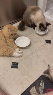 猫,食べ物,食事,キッチン,かわいい,氷,フード,ねこ,皿,子猫,可愛い,ラグドール,不思議,体験,飲食,決定的瞬間,インスタ映え,ラガマフィン