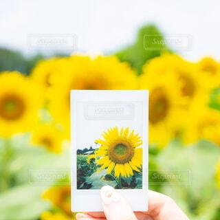 自然,花,カメラ,花畑,ひまわり,手,花びら,手持ち,人物,人,ポートレート,チェキ,ひまわり畑,ライフスタイル,草木,手元,フォトジェニック