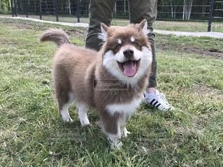 笑顔のフィニッシュラップフンドの子犬の写真・画像素材[3668512]